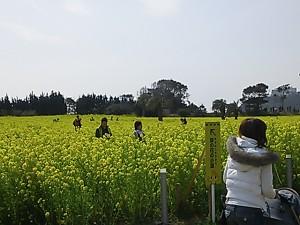 菜の花まつり2013